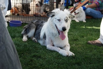 Available Dogs 171 Amazing Aussies Lethal White Rescue Of